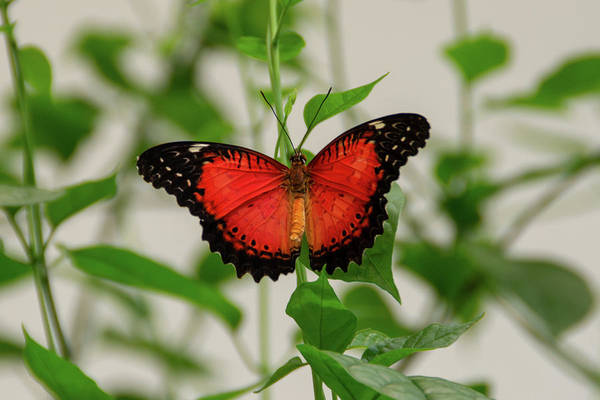 Photograph - Red Lacewing Butterfly by Jennifer Wick