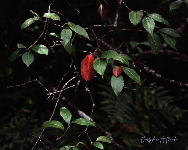 Digital Art - Red Leaf by Christopher Meade
