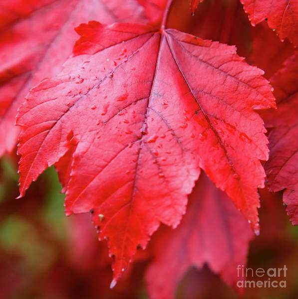 Photograph - Red Leaf by Colin Rayner
