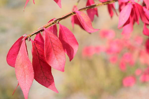 Wall Art - Photograph - Red Leaves by Bonnie Bruno