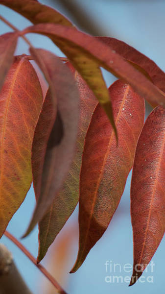 Photograph - Red Leaves In Line by Christy Garavetto