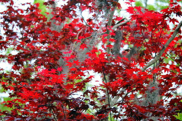 Photograph - Red Leaves In The Spring by Cynthia Guinn