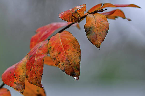 Wall Art - Photograph - Red Leaves Of Winter by Richard Rizzo