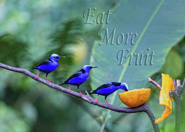 Wall Art - Photograph - Red-legged Honeycreeper Eat More Fruit  by Betsy Knapp