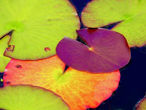 Wall Art - Photograph - Red Lily Pad by Alida M Haslett