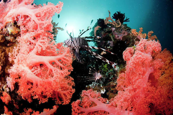 The Philippines Wall Art - Photograph - Red Lionfish And Corals by Yusuke Okada/a.collectionrf