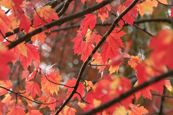 Photograph - Red Maple 7139 by Ajp