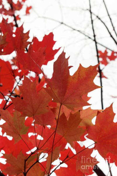 Photograph - Red Maple Leaves 2 by Ana V Ramirez