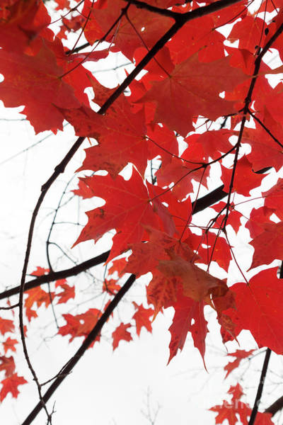 Photograph - Red Maple Leaves by Ana V Ramirez