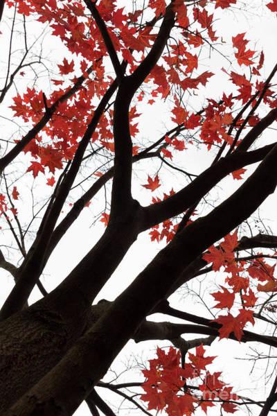 Photograph - Red Maple Tree by Ana V Ramirez