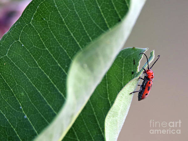 Wall Art - Photograph - Red Milkweed Beetle by Steve Gass