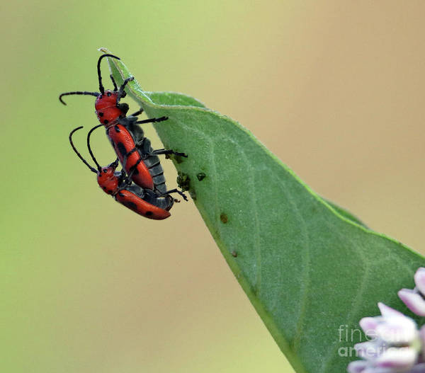 Wall Art - Photograph - Red Milkweed Beetles by Steve Gass