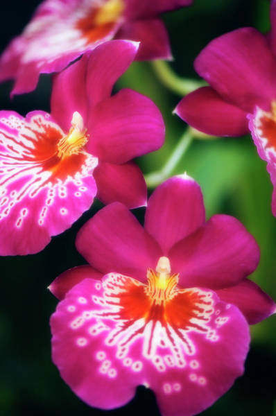 Wall Art - Photograph - Red Miltoniopsis Orchid, Close-up by Maria Mosolova