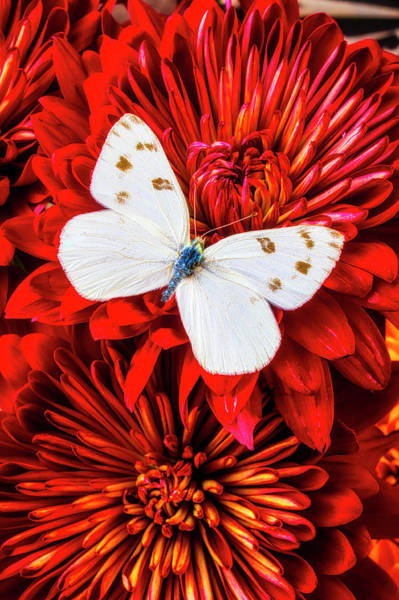 Photograph - Red Mums With White Butterfly by Garry Gay