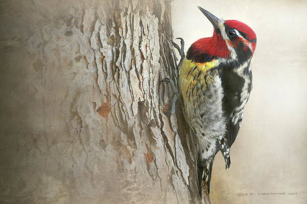 Bore Hole Wall Art - Photograph - Red-naped Sapsucker Study by R christopher Vest