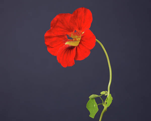 Nasturtiums Wall Art - Photograph - Red Nasturtium Of One Flower by A.t. White