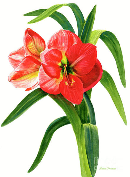 Freeman Wall Art - Painting - Red-orange Amaryllis by Sharon Freeman