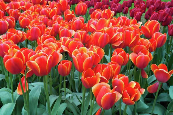 Wall Art - Photograph - Red Orange Tulipa Ad Rem by Jenny Rainbow