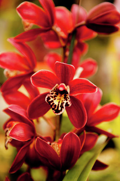 Photograph - Red Orchid Flowers by Dan Pfeffer