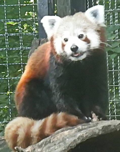 Photograph - Red Panda by Barbara Keith
