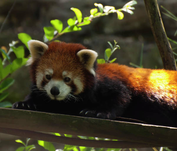 Photograph - Red Panda by Chris Flees