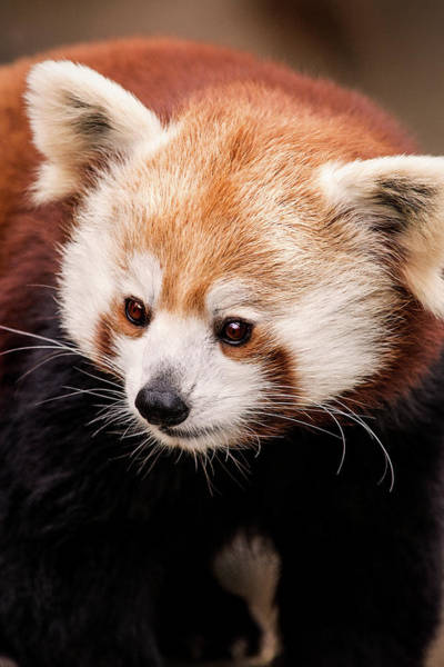 Photograph - Red Panda-dc by Don Johnson