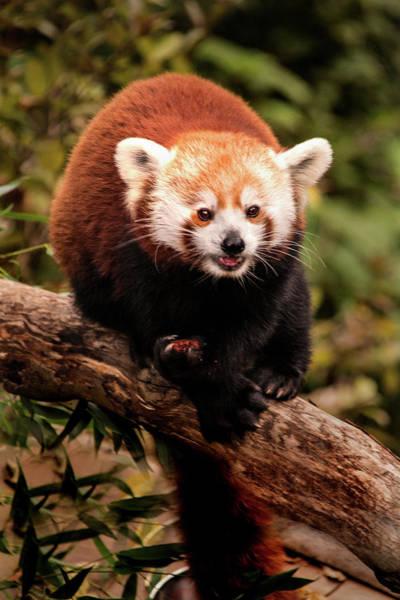 Photograph - Red Panda Dc Zoo by Don Johnson