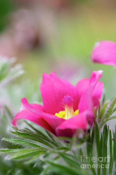 Wall Art - Photograph - Red Pasqueflower by Tim Gainey