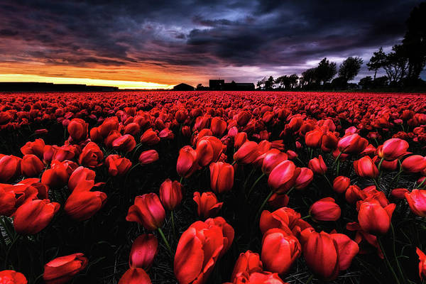 Holland Wall Art - Photograph - Red Passion by Jorge Maia