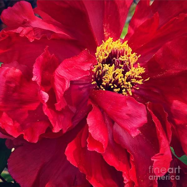 Wall Art - Photograph - Red Peony  by HD Connelly
