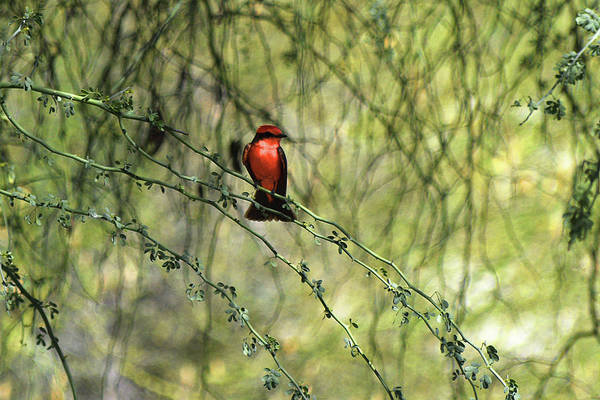 Photograph - Red Perched Bird by Chance Kafka