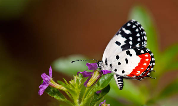 Bangalore Photograph - Red Pierrot by Amit R