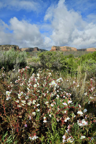 Photograph - Red Point Desert Roses by Ray Mathis