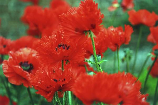 Biennial Photograph - Red Poppies In Nature, Close Up by Maarigard
