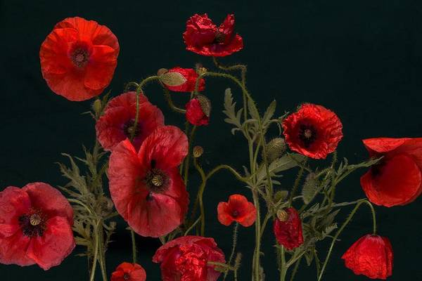 Red Poppies On Black Art Print
