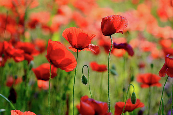 Fragility Photograph - Red Poppies by Treeffe