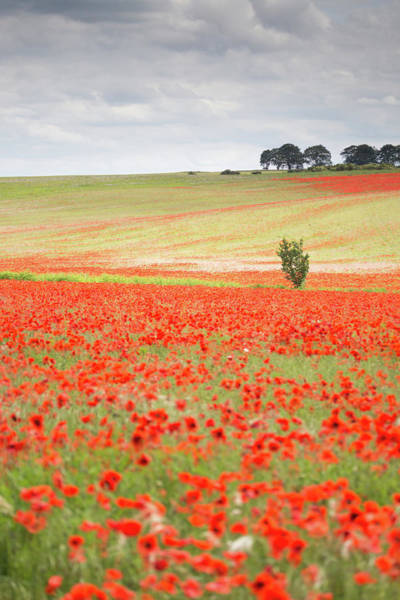 English Countryside Photograph - Red Poppy Field, Norfolk by Anita Nicholson
