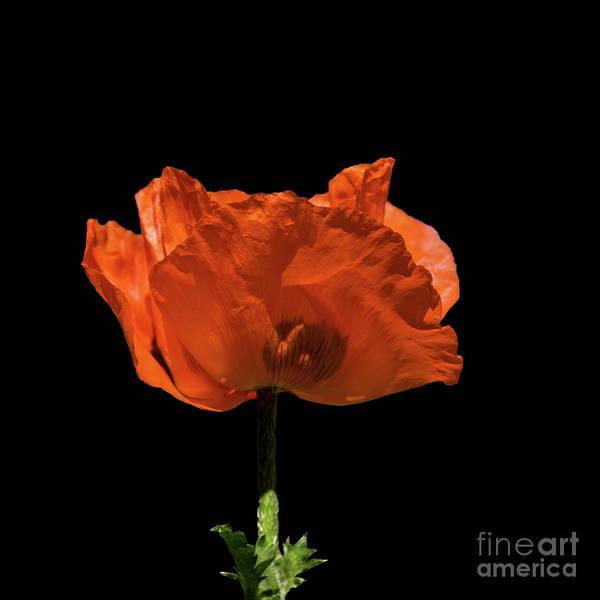 Digital Art - Red Poppy On Black by Liz Alderdice
