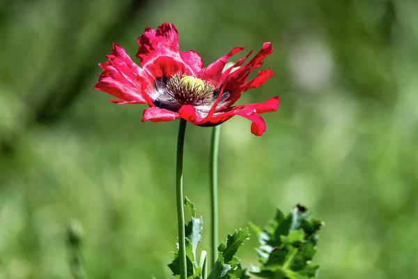 Wall Art - Photograph - Red Poppy Wildflower by Debra Martz