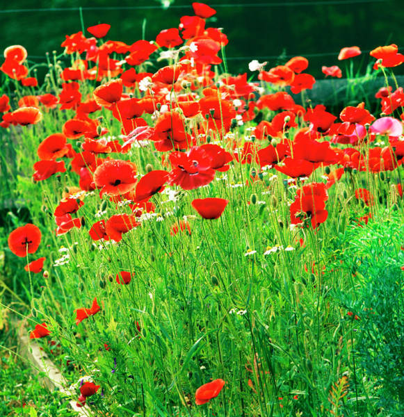 Wall Art - Photograph - Red Poppys by Richard Felber