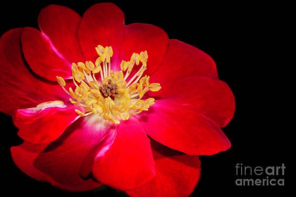 Photograph - Red Red Rose by Sabrina L Ryan