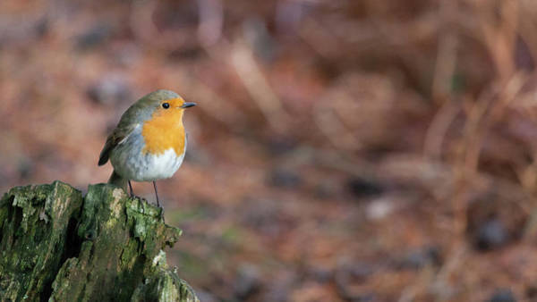 Wall Art - Photograph - Red Robin In The Woods At Autumn by Anita Nicholson