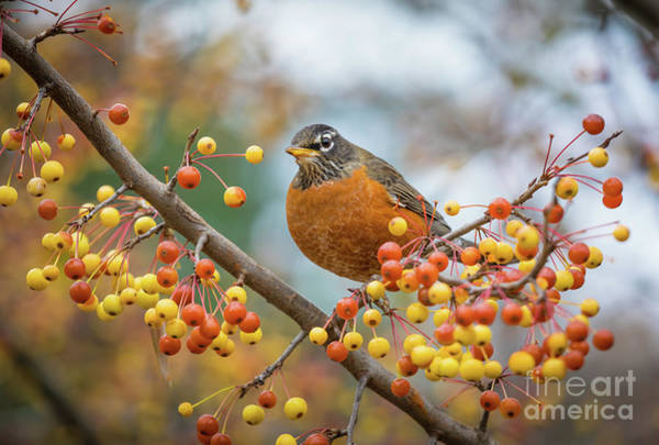 Red Robin Photograph - Red Robin In Tree by Inge Johnsson