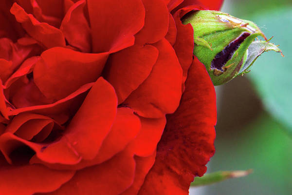 Photograph - Red Rose And Bud Closeup by Jason Fink