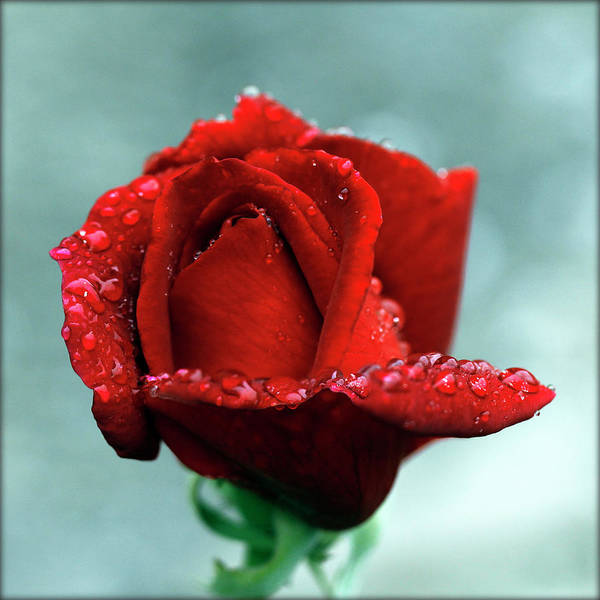 Burgundy Photograph - Red Rose And Raindrops by Lal