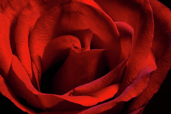 Petal Photograph - Red Rose by Cclickclick