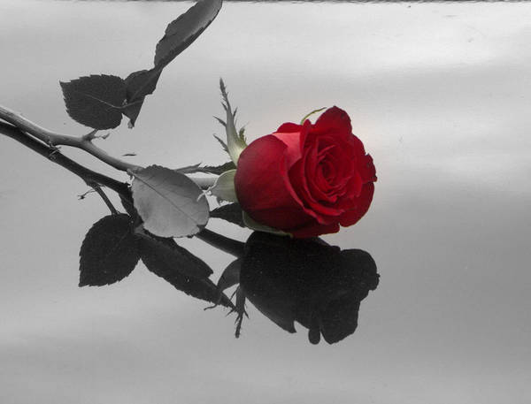 Wall Art - Photograph - Red Rose by Heidi McCarthy