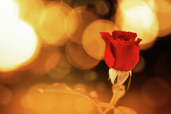 Wall Art - Digital Art - Red Rose In Gold by Gary Yost