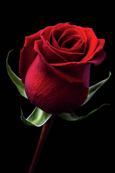 Jakarta Photograph - Red Rose by Iwan Tirtha