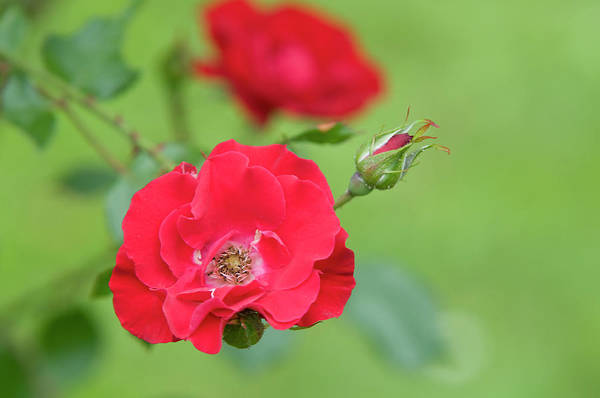 Photograph - Red Rose Koln Am Rhein by Jenny Rainbow